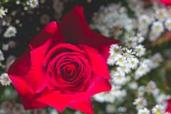 IMG_4145 (Josy'ta) Tags: rose rosas rosascolombianas flowers flores flor diadosnamorados love