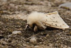 "nachtvlinder ""witte tijger"" (j.vanesch) Tags: insect vlinder nachtvlinder wittetijger fotobeinsecten1"