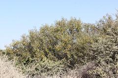 Senna artemisioides subsp. quadrifolia (Silver Cassia) (Arthur Chapman) Tags: desert australia southaustralia senna arid quadrifolia birdsvilletrack cassiaartemisioides mulka taxonomy:class=magnoliopsida taxonomy:family=fabaceae sennaartemisioides taxonomy:order=fabales taxonomy:kingdom=plantae mungerannie geo:country=australia artemisioides taxonomy:phylum=magnoliophyta geocode:method=gps geocode:accuracy=100meters taxonomy:genus=senna silvercassia taxonomy:binomial=sennaartemisioides taxonomy:common=silvercassia sennaartemisioidessubspquadrifolia taxonomy:trinomial=sennaartemisioidessubspquadrifolia geo:alt=57meters