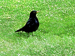 A Black Bird and a White Frost (Steve Taylor (Photography)) Tags: city blue newzealand christchurch white black green bird art grass yellow digital lawn canterbury nz southisland cbd blackbird fost