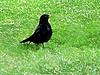A Black Bird and a White Frost (Steve Taylor (Photography)) Tags: city blue newzealand christchurch white black green bird art grass yellow digital lawn canterbury nz southisland cbd blackbird fost