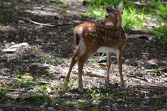 Key Deer Fawn (bmasdeu) Tags: fawn deer keydeer thekeys bigpine nationalpark wild florida nature cuteness babies