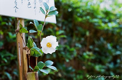 明月院 (紅襪熊) Tags: flowers flower film japan pentax takumar bokeh super 55mm 200 m42 山茶花 camellia f18 花 18 55 spf 鎌倉 椿 filmphotography 明月院 茶花 底片 camelliajaponica supertakumar55mmf18 銀鹽 uxi efiniti efinitiuxisuper200