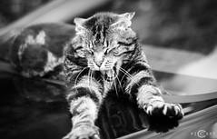 Einstein (piccart) Tags: blackandwhite nature monochrome animal cat outdoor wildlife kitty kit katze kater tier