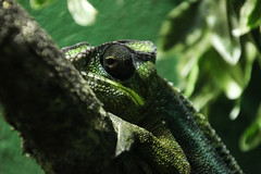 Panther Chameleon (NTG's pictures) Tags: cotswold wildlife park gardens panther chameleon reptiles amphibians lizards frogs
