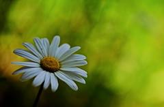 flower 868 (kaifudo) Tags: sapporo hokkaido japan maruyamapark wildchrysanthemum flower 札幌 札幌市 北海道 円山公園 野菊 nikon d750 sigmaapomacro150mmf28 sigma 150mm macro bokeh
