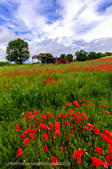 The barn in the poppy field (Colin Hollywood Photography) Tags: uk england barn nikon rustic poppy poppies salisbury wiltshire chalke d810 1424mm