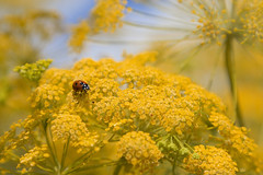 good luck (@ntomarto) Tags: flowers italy flower yellow italia giallo ladybug sicily fiori fiore fortuna sicilia goodluck coccinella ferula antomarto ntomarto