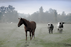 Company of three (Ludo_Jacobs) Tags: morning horse nature animals landscape tiere cow nebel cows belgium country natur meadow wiese animaux landschaft dieren morgen landschap