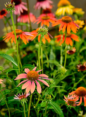 Summer Color Explosion (jhambright52) Tags: macro coneflowers macroflowers multicoloredconeflowers