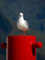 The Stare (Steve Taylor (Photography)) Tags: blue shadow red white bird metal looking bokeh seagull gull nelson staring