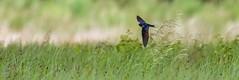 Swooping Swallow (Richard W2008) Tags: cathkinmarshwildlifereserve scottishwildlifetrust scotland nature flora fauna