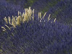 lavande (laurent gayte) Tags: nature plateau champs olympus provence agriculture lavande 300mmf4 manosque valensole laurentgayte