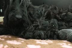 (kmkota) Tags: puppy puppies birth scottie scottishterrier perhaps  whelping scottiedog givingbirth skotlanninterrieri snooki scottiepuppies scottishterrierpuppies perhapssnooki thescottiedog scottiesnooki snookiscottie snookiis