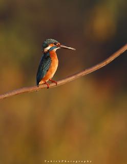 Common Kingfisher (Sialkot)