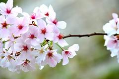 Blooming 85 (Krasivaya Liza) Tags: park flowers trees atlanta flower nature floral beauty ga georgia season spring atl blossoms southern budding blooming