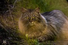 SCONOSCIUTO (Lace1952) Tags: cat nikon strada italia occhi sguardo campagna piemonte d750 gatto selvatico sconosciuto domodossola vco ossola nikkor500mmcatadiottrico crossigglia