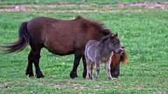 Mom & Mini-Mom (jrussell.1916) Tags: horses brown green grass spring gray pasture miniaturehorses foal canon70200f4lis14tc