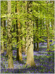 _CJS1039 - Bluebell Wood (Actual Images by Carol Saunders LRPS) Tags: blue trees copyright abstract green nature woodland woods nikon buckinghamshire national carol trust bluebell beech saunders lrps hyacinthoides nonscripta