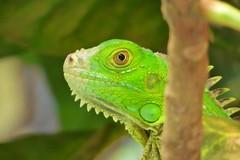 CAPTADO INFRAGANTI (Anciano profeta de Nicaragua) Tags: verde ojo rbol garrobo