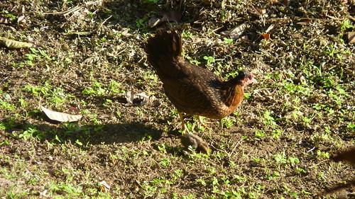 Jayuya, Hacienda Gripinas chicken