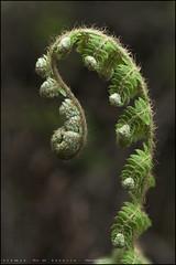 El despertar….. (eredita) Tags: helecho primavera flora fondodeescritorio asomando eredita fernnan