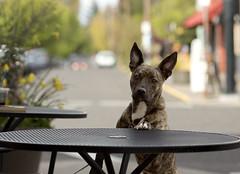 5691 Bat Dog (eyepiphany) Tags: dog canine pitbull cutedog mansbestfriend batdog batears brindlepitbull bistropup cofeehound