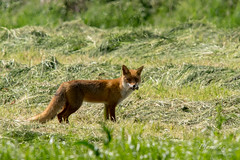 Si j't'attrape j'te mord! 2 (plovemax) Tags: mammal country fox campagne mammifre renard canidae canid goupil roucky