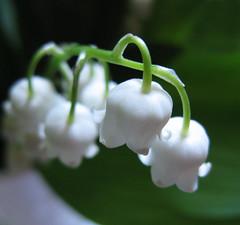 white... (3OPAHA) Tags: white green canon soft pure lilyofthevalley maiglöckchen djurdjevak