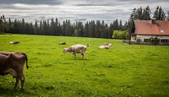 Meanwhile in Bavaria (Markus Kolletzky) Tags: nature landscape bavaria cow outdoor feld alm landschaft allgu grasland