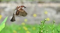 DSC_7381 (sylvettet) Tags: bird nature flying inflight sparrow oiseau moineau 2016 nikond5100