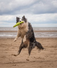 Frisby 5 (Chris Willis 10) Tags: dog game beach collie play border will frisky crosby