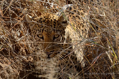 Mimetismo  (Panthera pardus / leopardo) (Red Baron 3) Tags: leopardo savannah namibia savana nikond600 pantherapardo