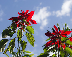 Red heads (Igor Serikba) Tags: flowers red sky cloud sun green leaves sunshine canon heaven day poinsettia bracts 100300 56l
