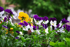 flowerpower (giuls gilli) Tags: white flower nature colors beauty yellow spring colorful shoot pentax violet