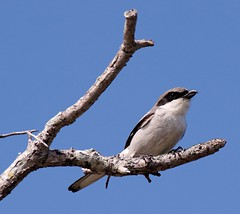 20160331 Louisiana-Wuerger (Loggerhead Shrike) K3II7814s_DxO (AviFuzzi) Tags: park nature birds state pentax florida jonathan dfa dickinson 150450 k3ii