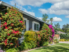 Flowers along the wall - Happy Wall Wednesday (randyherring) Tags: california ca flowers blue trees red sky white house plant green window grass wall clouds fence us flora afternoon purple unitedstates outdoor sanjose sidewalk bloom blooming bloomingflower