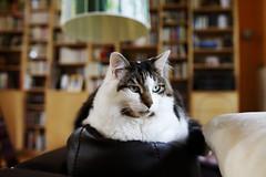 PepinOrleans_20151011_003 (bourjean29) Tags: cat kat chat bretagne bourgeois animaux poil flin finistere eos5d cornouaille bourgeoisjean canoneos5dmk2