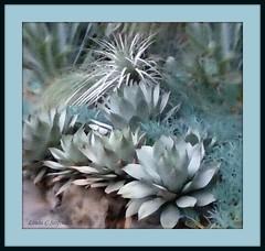 Silver-blue giants (edenseekr) Tags: longwoodgardens watercoloreffect photopainting digitallypainted