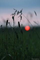 Colores de atardecer (Vika Scrivener) Tags: naturaleza verde sol de atardecer rojo natural paz prado puesta naranja ocaso hierba tranquilidad espiga inspirador