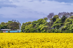 Yellow (robinta) Tags: flowers nature yellow landscape pentax farmland ks1 boldon cultivated arable sigma70300mmapo