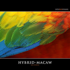HYBRID-MACAW (Matthias Besant) Tags: bird art nature animal deutschland hessen body natur feather parrot aves colourful hybrid pied macaw parallel coloured farbig bunt mixture papagei ara tier vogel facemask feder tierfoto farbenfroh krper tierfotografie federn federkleid feathering mischung psittaciformes vogelburg hybridmacaw mischform hybridara animalfotography matthiasbesant arahybride