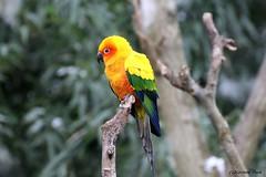 Conure soleil (Passion Animaux & Photos) Tags: sun france bird zoo soleil parakeet oiseau conure amneville