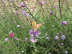 Painted Lady IMG_9100 (tomylees) Tags: june butterfly 16th thursday essex paintedlady braintree 2016