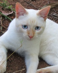 Ghost (CatnessGrace) Tags: blue cats pets nature animals portraits chats feline chat blueeyes siamese kittens gatos gato felinos felines katze cateyes gatto katzen gatti siamesecats whitecats petportraits catportraits animalportraits catfaces siamesekittens