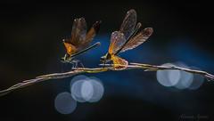 Libellule. Roma, parco della Caffarella, 20 giugno 2016 (adrianaaprati) Tags: italy parco roma dragonfly bokeh calma libellule insetti libellula appiaantica surreale caffarella profonditdicampo