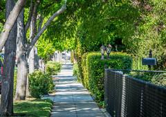 Fence and sidewalk - Happy Fence Friday (randyherring) Tags: california ca morning trees plants green cars lamp grass mailbox fence us flora unitedstates outdoor sidewalk losgatos