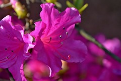 Azaleas (DaveJC90) Tags: camera pink flowers light shadow sun sunlight blur flower colour detail macro tree green slr beautiful beauty grass closeup digital dark lens evening petals stem bush nikon focus colours azaleas purple bright zoom head background sunny sharp petal crop azalea bud 1855mm croped sharpness d5100