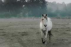 Pastoral (Ludo_Jacobs) Tags: morning horse nature animal sunrise landscape tiere weide belgium natur meadow wiese animaux morgen pferd paard kempen
