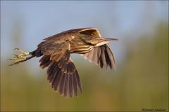 American Bittern in Flight (Daniel Cadieux) Tags: fly flying wings pond ottawa flight marsh americanbittern bittern